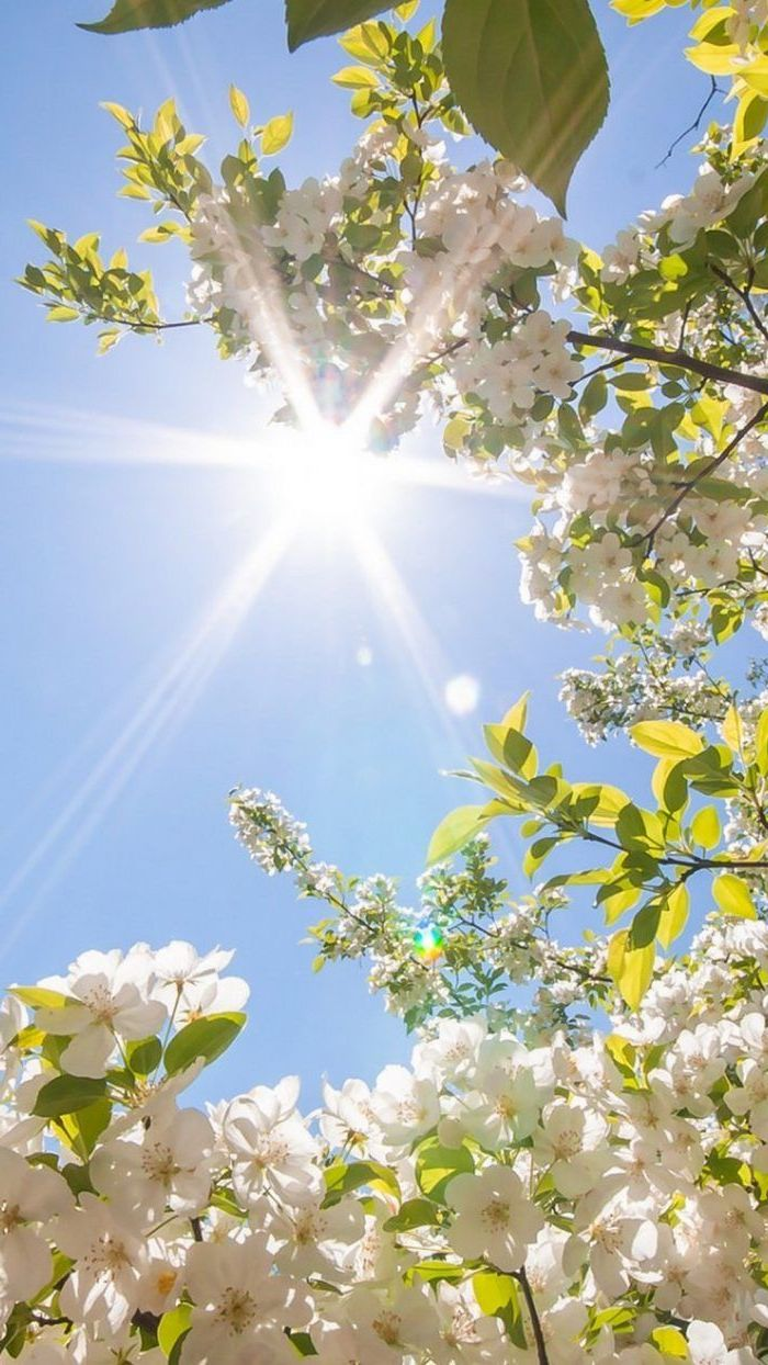 sun shining, phone wallpaper, spring flowers wallpaper, blooming tree, with white blooms