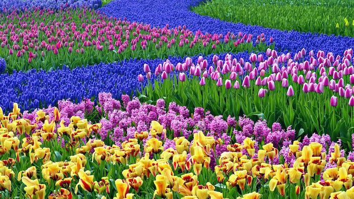 spring desktop background, blue, purple, yellow tulips field, different colours of tulips