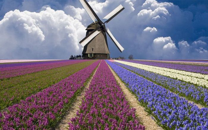 tulip field, with purple blue and white tulips, spring backgrounds, windmill in the middle, many clouds