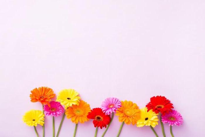 pink background, spring desktop background, yellow orange and pink gerberas, at the bottom