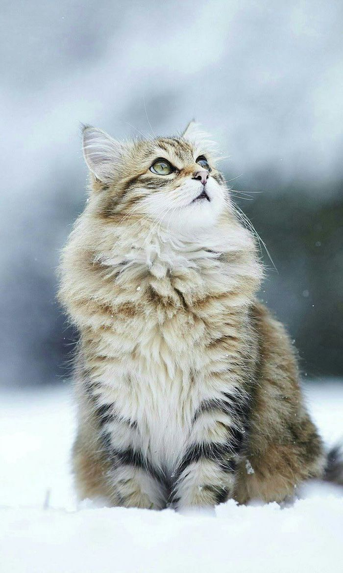 cat looking up, cute tumblr backgrounds, standing in the snow