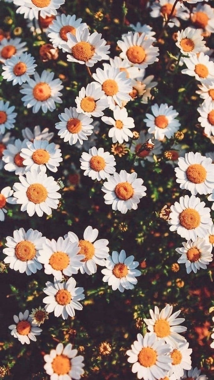white daisies, pink iphone wallpaper