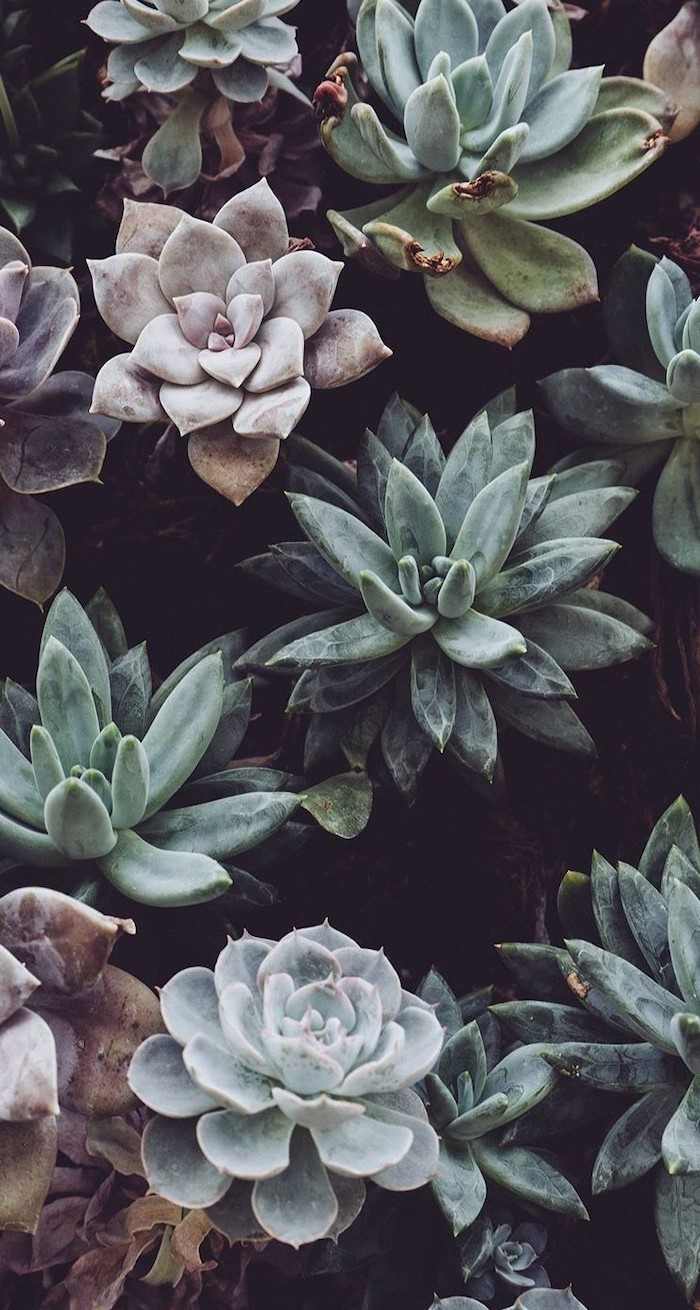different succulents, black background, aesthetic iphone wallpaper