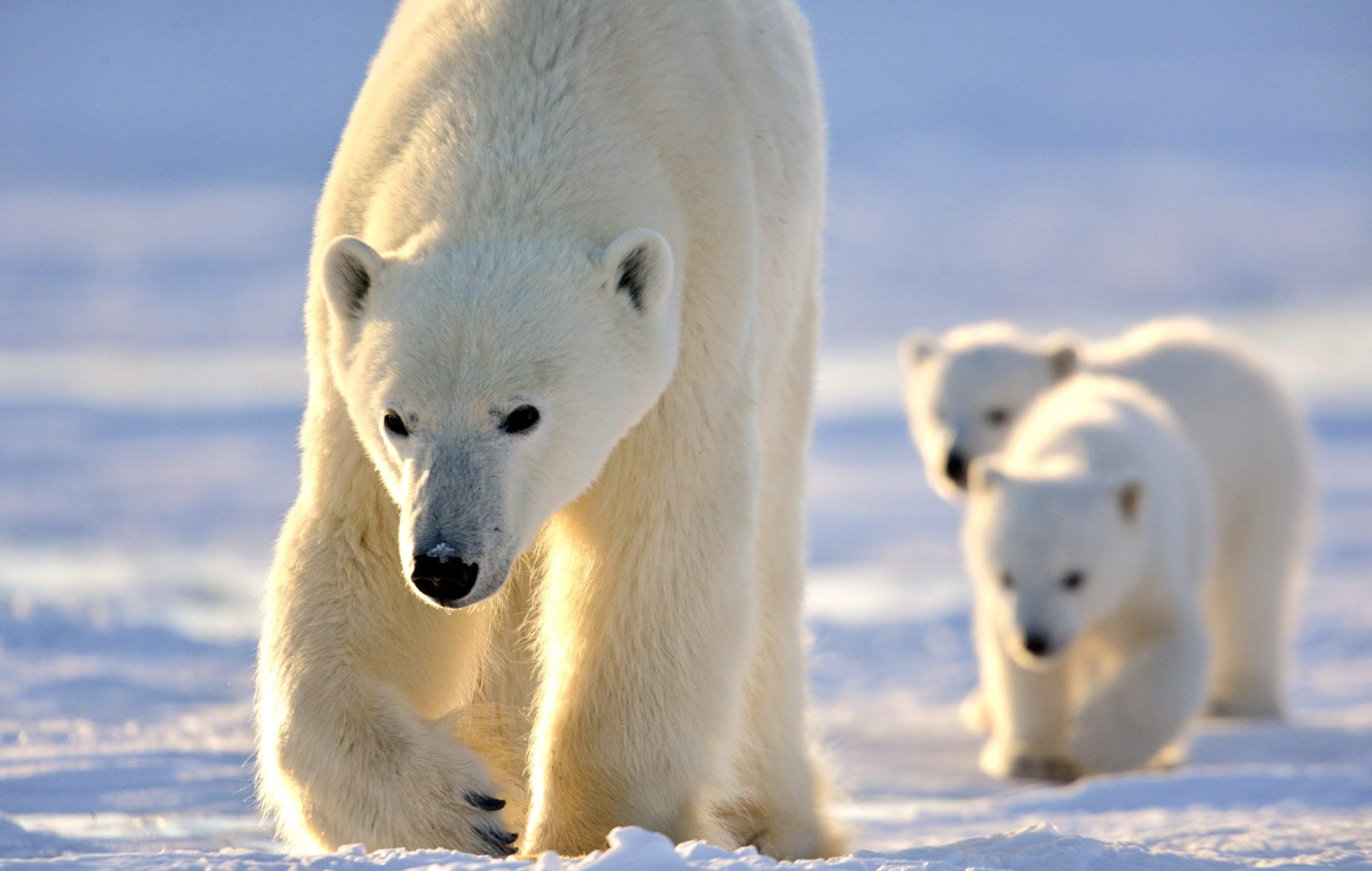 10 Fast Facts About Polar Bears