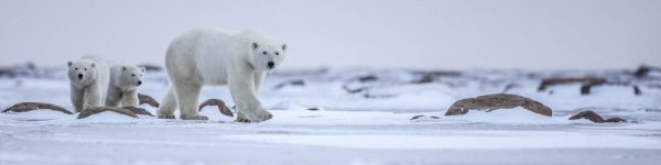 Polar Bear Migration Fly-In Photo Safari Arctic Kingdom
