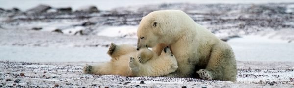 Arctic wildlife polar bears_Arctic Kingdom