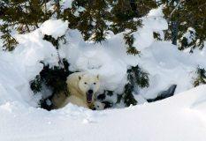 Lynette Reid_Polar_bear_cubs_Canada 2011 583