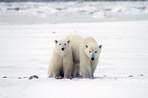 Polar Bears & Murres