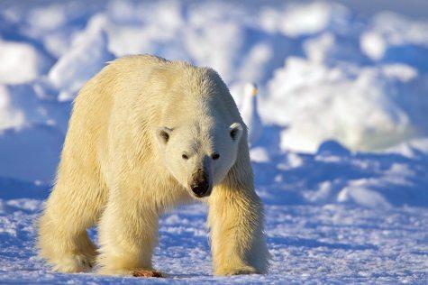 Todd_Mintz_Polar_Bear_MG_0141