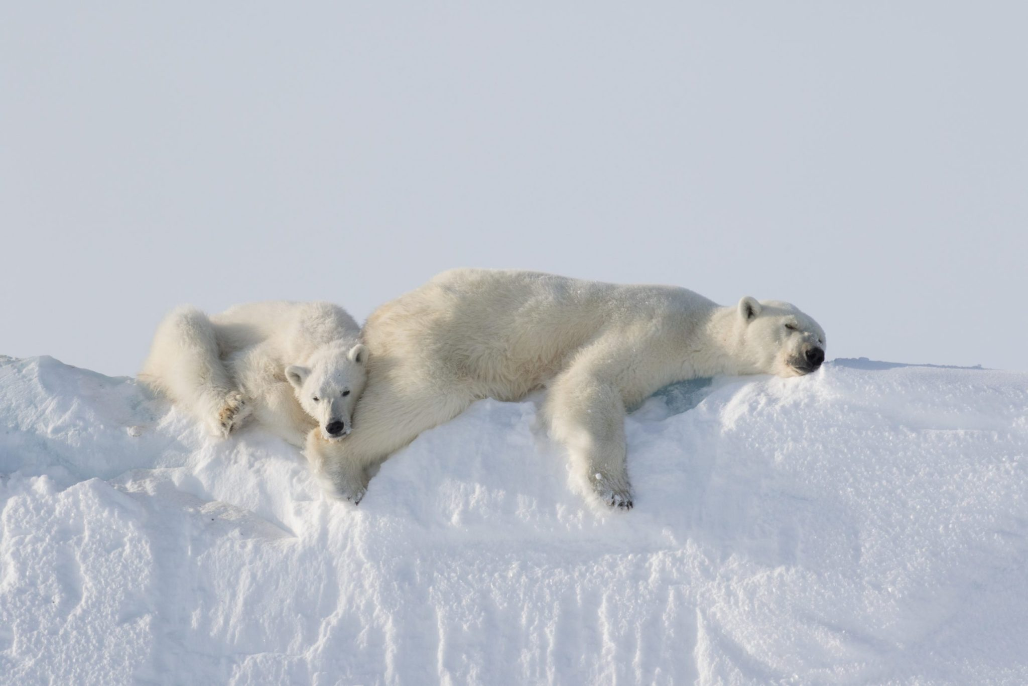 Spring Cubs & Polar Bears on Icebergs: Baffin Island   Arctic Kingdom