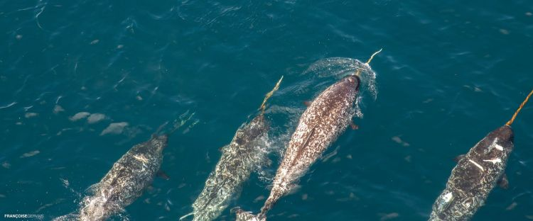 Are Narwhals Endangered? Here Are Some Facts | Arctic Kingdom