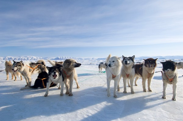 Two packs of sled dogs