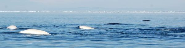 School of beluga whales