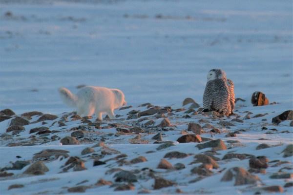 an arctic fox and arctic owl on land