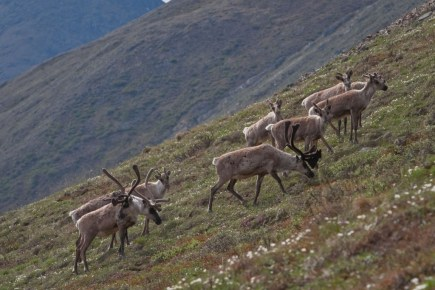 Caribou in Arctic Refuge