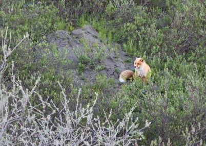 Red Fox Arctic National Wildlife Refuge