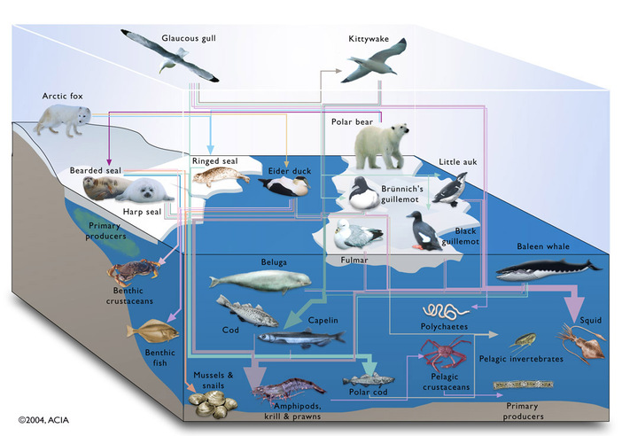food web interaction with explantion  Arctic Tundra