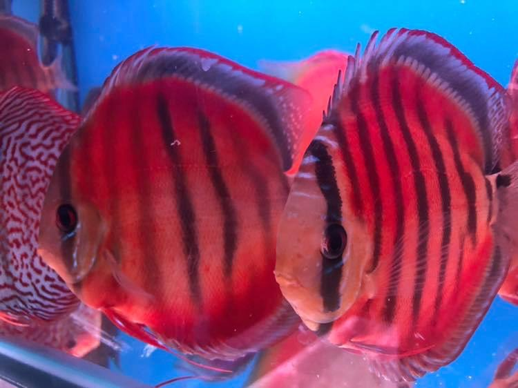 Red Ica Discus