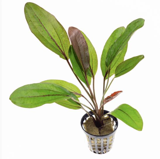 Echinodorus Lothario