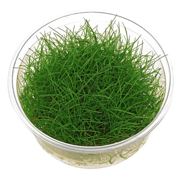 Mini Hair grass