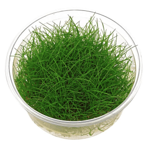 Mini Hair grass