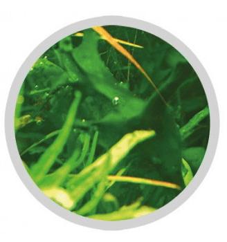 Freshwater Cyanobacteria