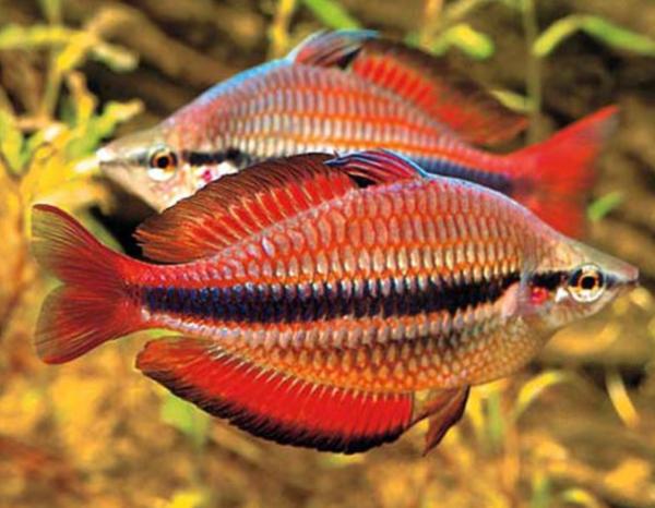 Goyder River Rainbowfish (Melanotaenia trifasciata)