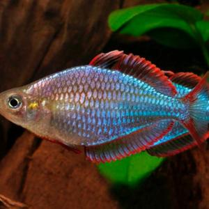 Neon Dwarf Rainbowfish (Melanotaenia praecox)