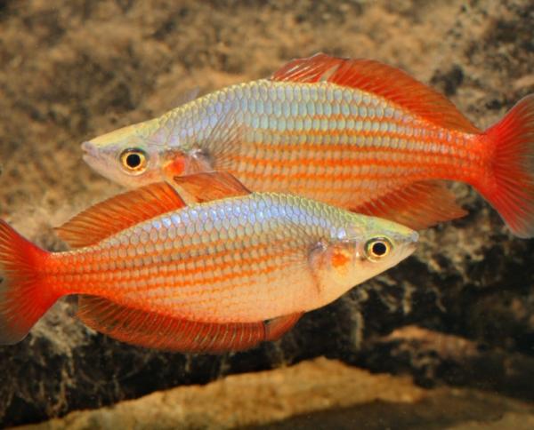 Deepwater Creek Rainbowfish (Melanotaenia splendida splendida)