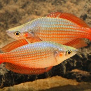 Deepwater Creek Rainbowfish (Melanotaenia splendida splendida)