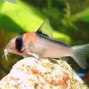 Adolfoi Corydoras (Corydoras adolfoi)