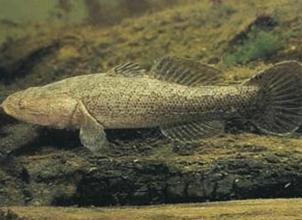 Sleepy Cod (Oxyeleotris lineolata)