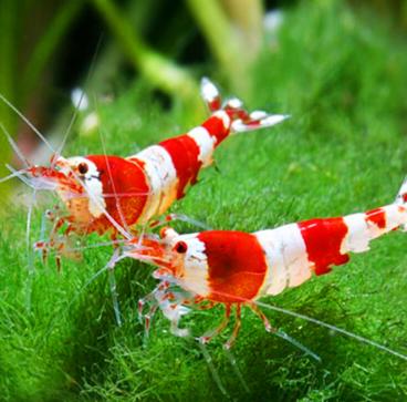 Crystal Red Shrimp