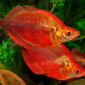 Red Rainbowfish (Glossolepis incises)