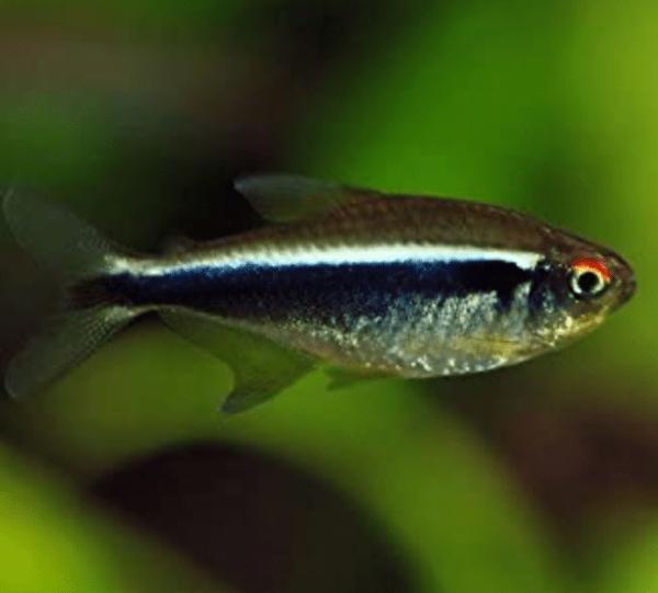 Black Neon Tetra (Hyphessobrycon herbertaxelrodi)