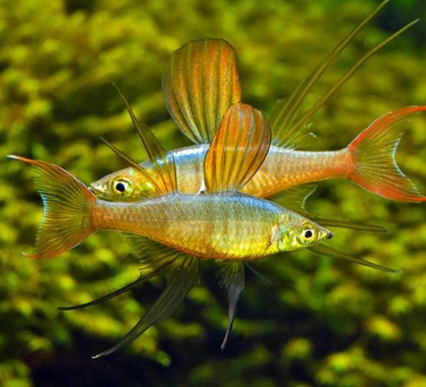 Threadfin Rainbowfish (Iriatherina werneri)