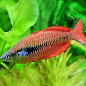 Parva Rainbowfish (Melanotaenia parva)