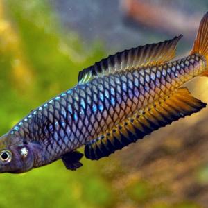 Ornate rainbowfish (Rhadinocentrus ornatus)