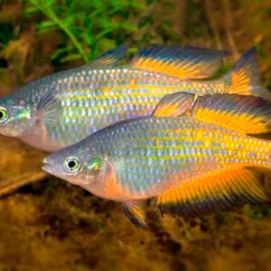 Parkinsons Rainbowfish (Melanotaenia parkinsoni)