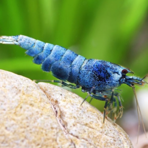 Blue Bolt Shrimp (Caridina Cantonensis)