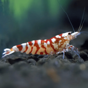 Fancy Red Tiger Shrimp (Caridina Cantonensis)