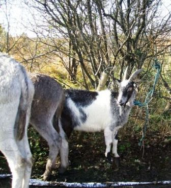 goats-and-donkeys