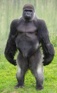Silverback gorilla standing up
