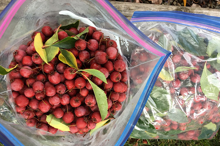 Collecting a bag of hawthorn berries in the fall for medicine making (tinctures & teas)