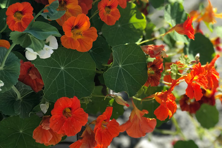 large nasturtium plant with big orange flowers in organic garden