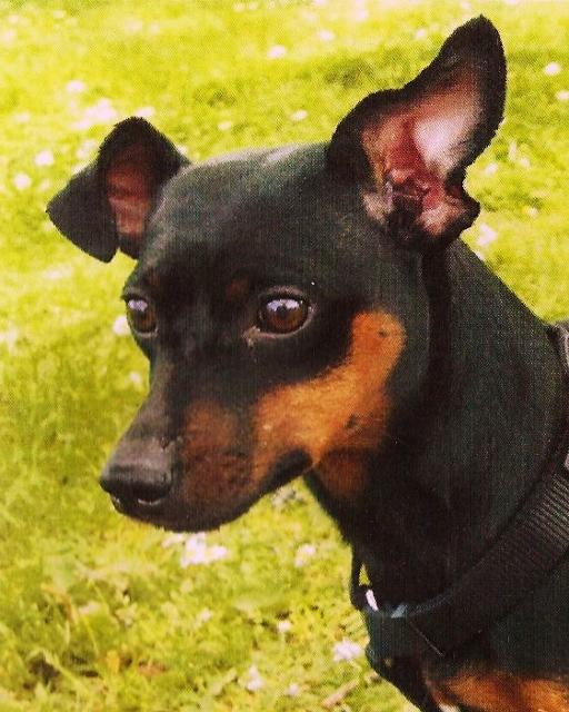 Minitonka, the Mini pincer, photo reference for pet portrait.