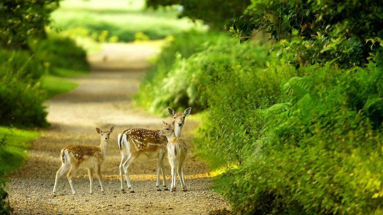 Beautiful-baby-deer-pictures-hd-1080p-1920x1080-desktop-768x432