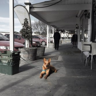 Red Cattle Dog waiting. Burra