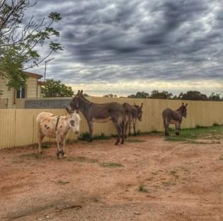 Wild donkeys in Silverton.