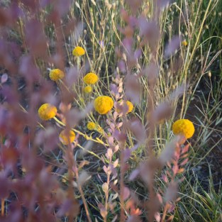 native grass and button daisies